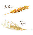wheat and rye ears vector image