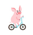 cute pig on blue bike isolated on white