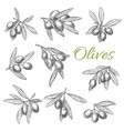 olives branches sketch icons set vector image vector image