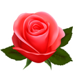 beautiful pink rose vector image