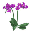 purple phalaenopsis orchid hand drawn sketch vector image