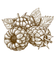 engraving raspberry vector image
