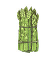 hand drawn bunch asparagus isolated on white vector image vector image