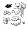 soybean hand drawn isolated vector image