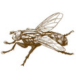 engraving fly insect vector image vector image