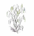 silver birch catkin isolated on a white background vector image