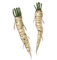 hand drawn fresh horseradish vector image vector image