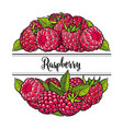 fresh ripe raspberries in natural composition in vector image vector image