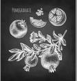 pomegranate chalk sketch vector image vector image
