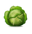 realistic detailed 3d fresh green cabbage vector image