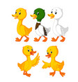 collection of the cute ducks vector image