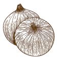 engraving two onions vector image vector image