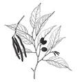 alnus japonica vintage vector image vector image