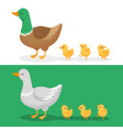 ducklings and mother duck ducks family duckling vector image vector image