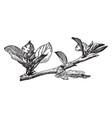 flower and leaf cluster apple vintage vector image vector image