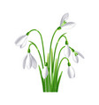 first spring flowers snowdrop on white background vector image vector image