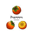 persimmon fruit graphic drawing watercolor vector image vector image