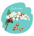 buckwheat plant and its seeds isolated vector image vector image