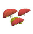 human organ liver healthy decorated with florals vector image vector image