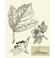 leaves flowers and fruits of the viburnum vector image vector image