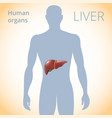 location of the liver in the body the human vector image vector image