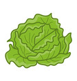 green cabbage isolated vector image vector image