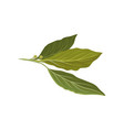 flat icon of fresh green bay leaves herb vector image vector image