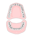 Teeth numbering vector image vector image