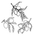 set olive tree branch with olives design vector image vector image