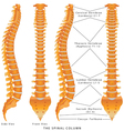 The Spinal Column vector image