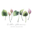 calla flowers and leaves vector image