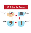 Life cycle of the mosquito in color flat style vector image