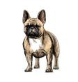 hand drawing a beautiful french bulldog dog vector image vector image