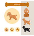 poodle dog breed infographic vector image