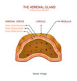 adrenal gland image vector image vector image