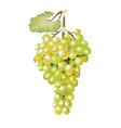 Green fresh grapes vector image vector image