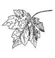 Mite galls on maple vintage vector image