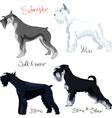 schnauzer dogs vector image vector image