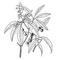 arbutus arizonica vintage vector image vector image