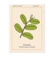 catuaba erythroxylum vaccinifolium medicinal