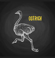 bird ostrich animal in the style of chalk on a vector image