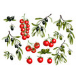black olives branches and cherry tomato vector image vector image