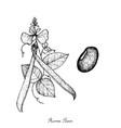 fresh green runner bean plant vector image vector image