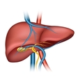 Human liver structure vector image vector image