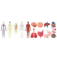 Set of human anatomy and systems vector image vector image