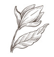 flower isolated sketch magnolia plant pencil vector image vector image