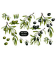 black and green olives branches isolated vector image