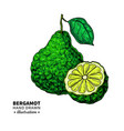 bergamot drawing isolated vintage vector image vector image