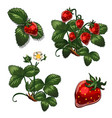 strawberries berries in different stages of growth vector image vector image