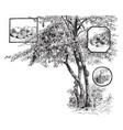 calabash tree vintage vector image vector image
